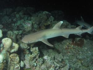 Rifinis ryklys